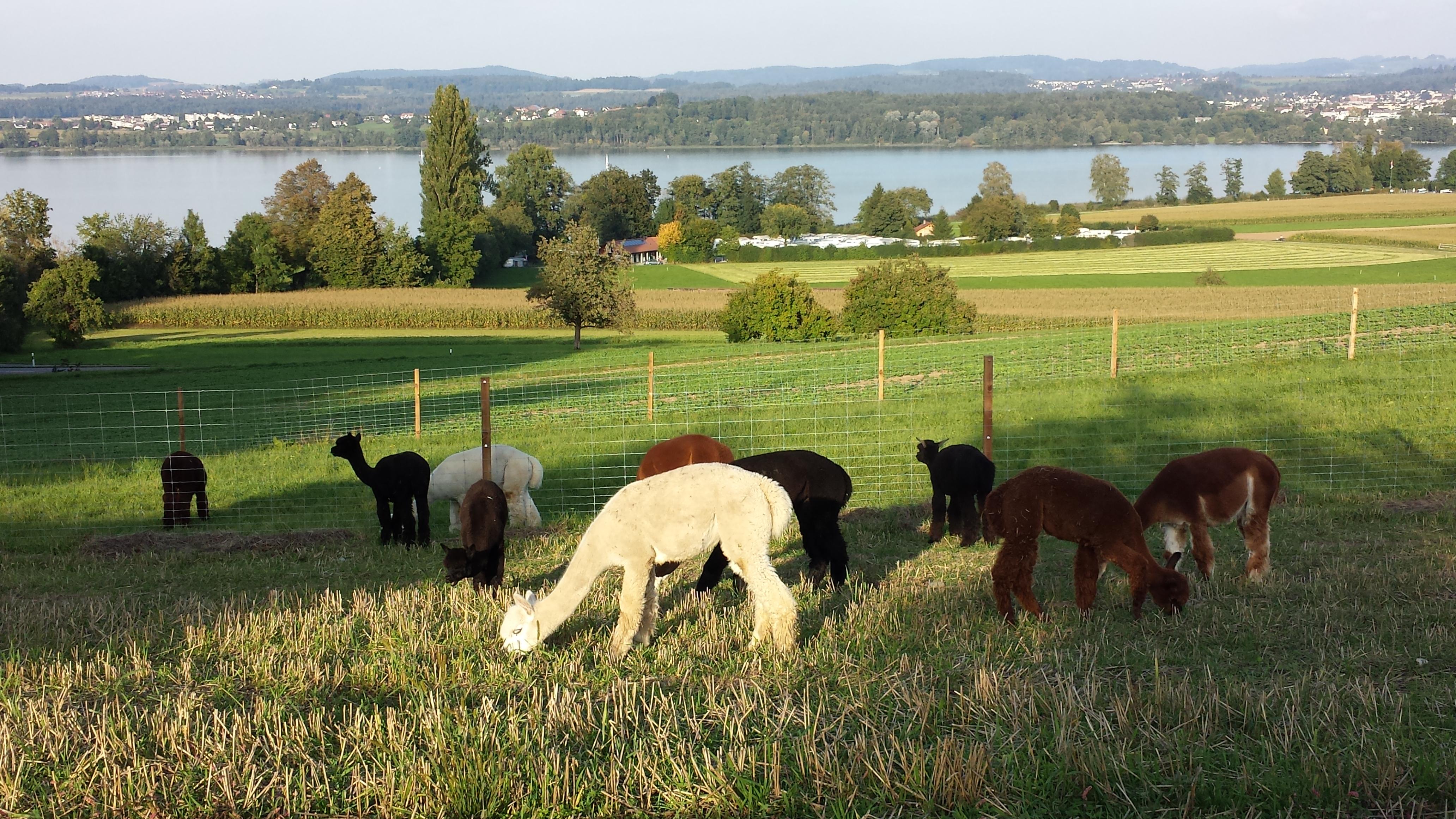 Alpakaherde mit dem Greifensee im Hintergrund